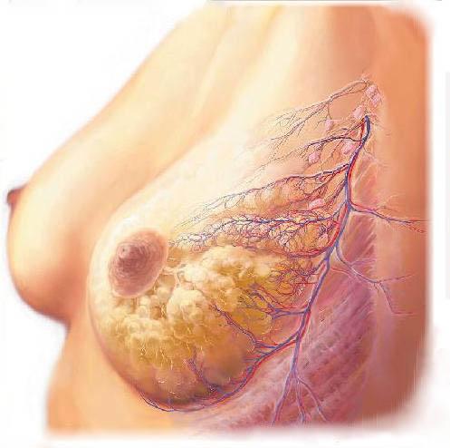 Anatomie der Brust - naturline cosmetics SIDERmax